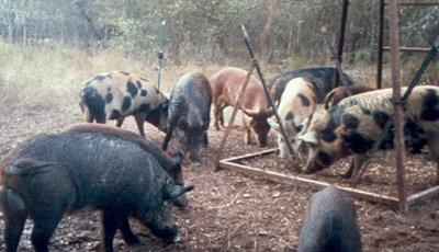 The Origin of the Wild Pig Species   Texas A&M NRI