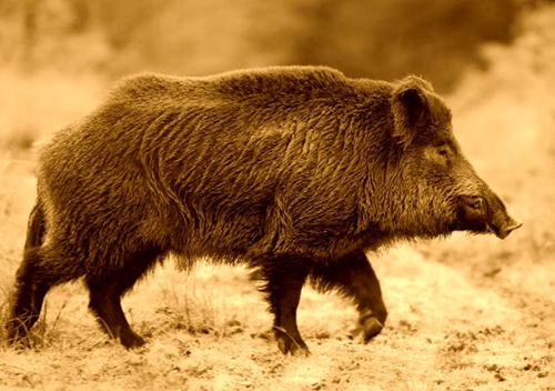 The Origin Of The Wild Pig Species Texas Am Nri