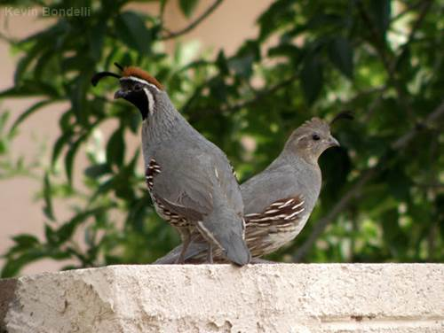 Male and female Gambel's quail are sexually dimorphic and have somewhat different appearances