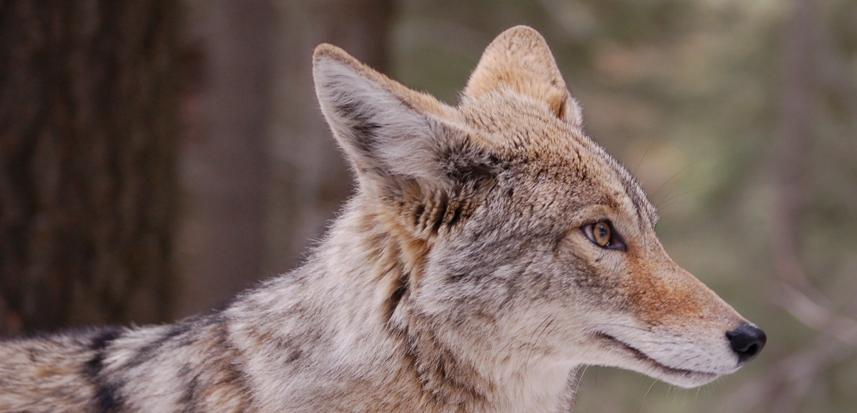 Initiative 3 Set Fox Predator Whistles From Best Fox Whistle Sporting Goods
