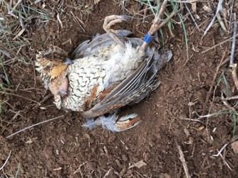 Why Don't Pen-raised Quail Survive in the Wild? | Texas A&M NRI