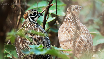 A male (left) and female (right) Montezuma quail