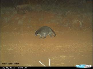 A raccoon photographed by a trail camera. Photo by Texas Quail Index.