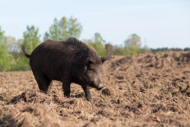 Figure 1. Prior to the new law, wild pigs had to be actively causing damage in order to be taken without a hunting license by a landowner or appointed agent of the landowner. As of May 31, 2019, no hunting license is required to hunt wild pigs on Texas private lands.