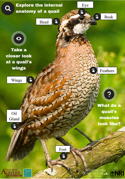 A screenshot of the main page from the Quail Anatomy lesson, which highlights some of the important external features on a male northern bobwhite quail. Interactive elements are labeled, and the content from each element is included below.