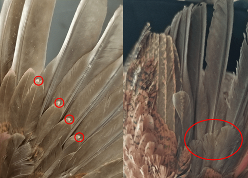 Two images comparing a juvenile quail's primary covert wing feathers (left) with an adult's primary covert wing feathers (right). The juvenile has small white spots at the ends of these feathers, while the adult's feathers are solid brown.