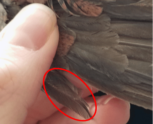 A close up showing the alula, the thumb-like feathered protrusion on a quail's wing.