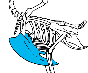 A diagram of a quail's skeletal structure, with the keel highlighted. Image from users Toony & Svtiste, Wikimedia Commons. Cropped from original.