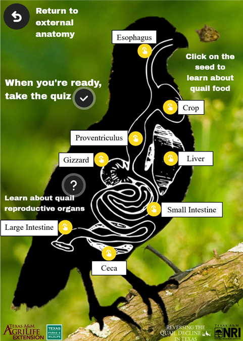 A screenshot of the Internal Anatomy page from the lesson, showing some of the major organs involved in digestion for a quail. An explanation of the function of each organ is included below.