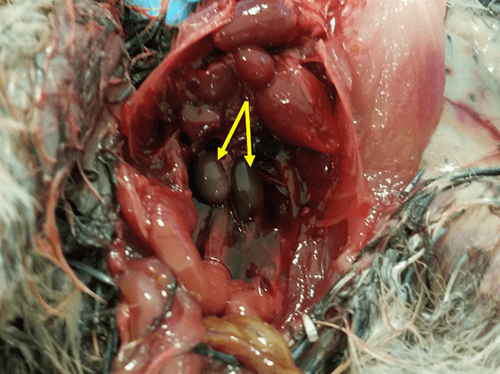 A dissection image showing a male quail's developed testes (indicated by yellow arrows).