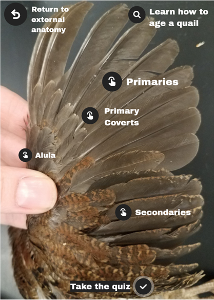 A view of a quail's wing, showing the different types of feathers (labeled). The purpose of each feather type is explained below.